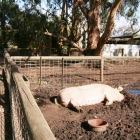 巨大な豚もいる?