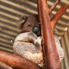 ずっと寝ているコアラ