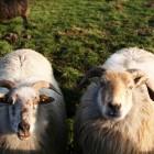 羊と遊んだり
