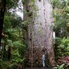 巨大な木 ヤカスYakas
