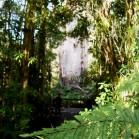 樹齢約2000年のカウリ