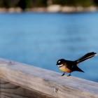 人懐っこい鳥 ファンティル