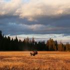 草原のバッファロー