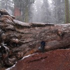 倒れているセコイアの木